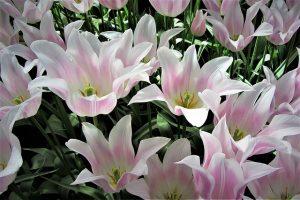 Tulpen Holland Keukenhof