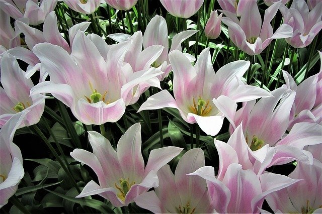 Öffnungszeiten Keukenhof 2019. Holland Tulpenblüte. Tulpen Holland Keukenhof, Keukenhof Amsterdam Entfernung, Keukenhof Eintrittspreise 2018, Flusskreuzfahrten Holland Tulpenblüte, Busreisen zum Blumenkorso nach Holland, wann ist die tulpenblüte in holland, tulpenblüte holland reisebusfahrt nach holland, wann blühen die tulpen in holland, reisen zur tulpenblüte nach holland. tulpenblüte in amsterdam.