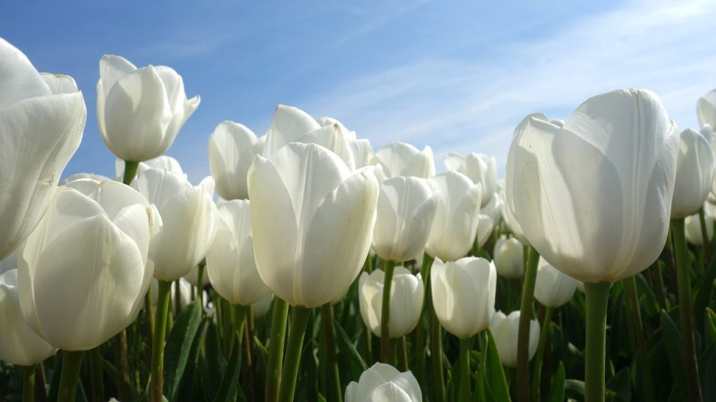 tulpenblüte holland 2019. tulpenschau in holland, zur tulpenblüte nach holland, Tulpenblüte in Amsterdam 2018, tulpenzeit in amsterdam, entfernung amsterdam keukenhof,