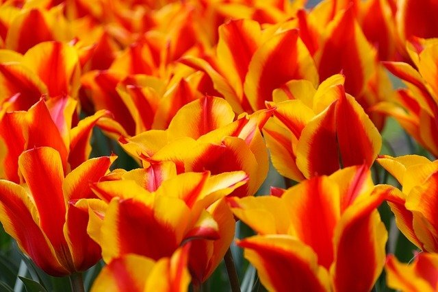 Tulpenblüte in Holland 2019, tulpen blütezeit holland, beste reisezeit holland, beste reisezeit amsterdam tulpenblüte, keukenhof tulpen kaufen, busreisen zur tulpenblüte nach holland, tulpenzeit in holland 2019, busreise nach keukenhof, von amsterdam nach keukenhof.