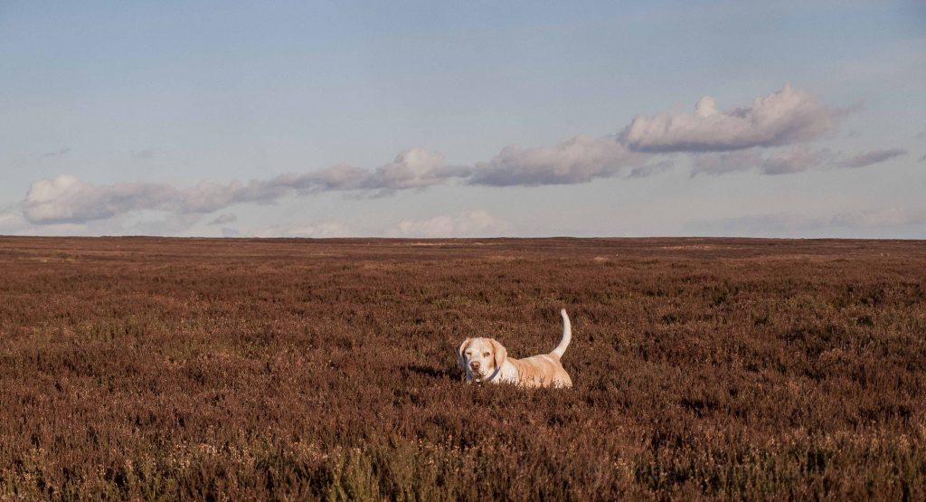 UK self-drive tours to the North York Moors: Our dog, Vlou, in the heather on my trip to the best national parks in the UK. Learn how many national parks in uk and how many you can visit on your UK self-drive holiday. Put together your self-drive UK itinerary here.