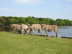 New Forest National Park Donkeys along the road.